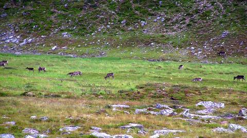 Reindeer graze on the tundra Footage