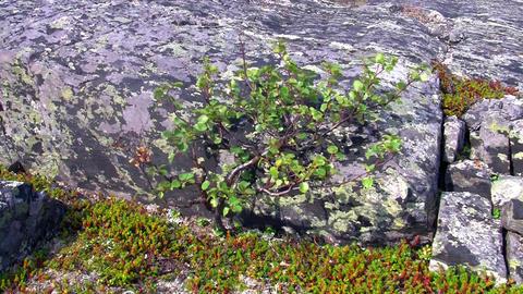 dwarf birch growing on the rock Stock Video Footage