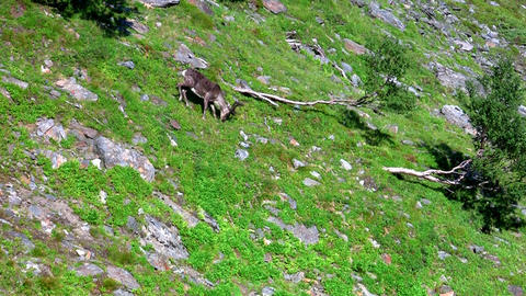 Reindeer graze on the mountains, Norway Stock Video Footage