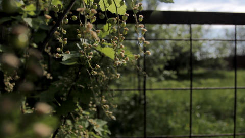 Currant blooming Stock Video Footage