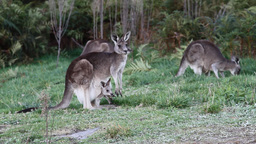 Kangaroos with joeys Footage