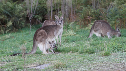 Kangaroos with joeys Stock Video Footage