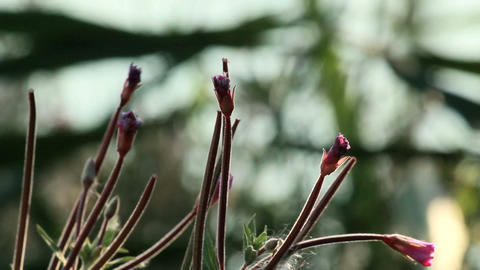 Buds of Pulsatilla ordinary Stock Video Footage