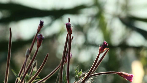Buds of Pulsatilla ordinary Footage
