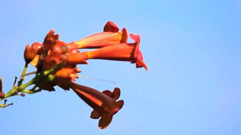 Bignonia Flower Stock Video Footage
