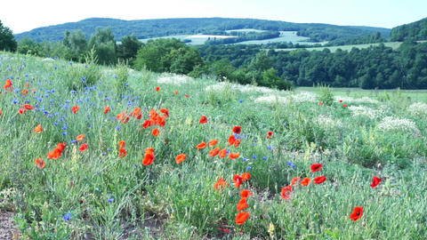 Poppies and Cornflowers on a Mountain Meadow Stock Video Footage