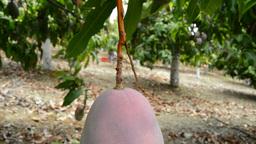 Mango Fruit At Branch Tilt Close Up 2 stock footage