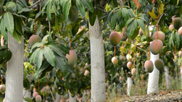 Mangoes fruit hanging in plantation 2 Footage