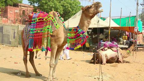 Decorate camel Footage
