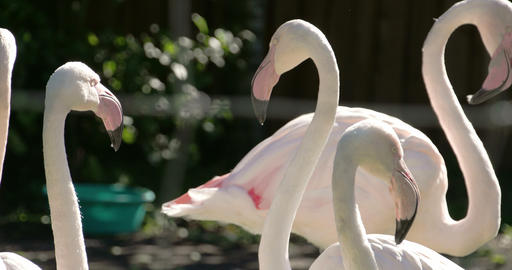 Six white and pinkish long neck flamingos flocking Footage