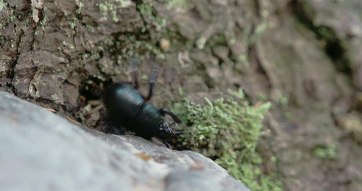 Blue greenish shiny dung beetle trying to curl up  Footage