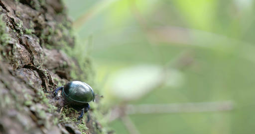 A Dung Beetle Crawling On A Tree With Its Tiny Leg stock footage