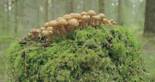 Small tiny honey fungus growing on the trunk FS700 Footage