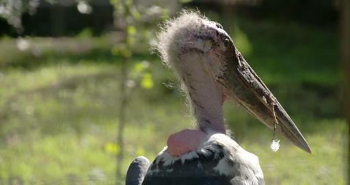The hairy head of the marabou stork looking around Footage