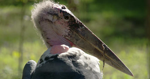 The marabou stork with its long ang big beak FS700 Footage
