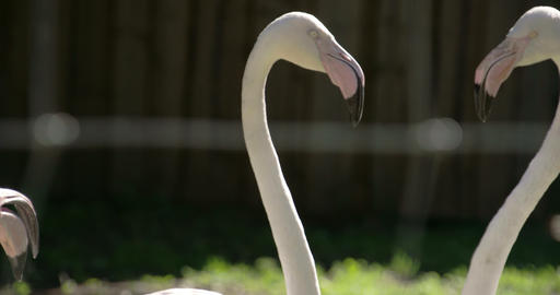 The long neck and big beak of the flamingoes FS700 Footage