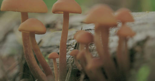 Closer view of the tiny white mushrooms FS700 4K Footage
