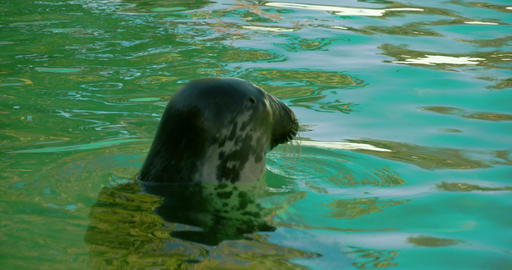 A Common Seal With Its Head Above The Water FS700  stock footage