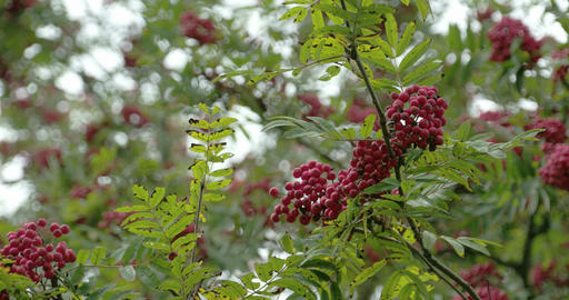 Lots of Sorbus fruits on the European Rowan tree F Footage