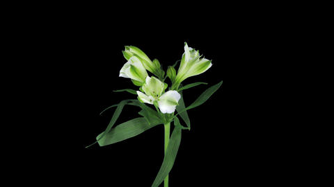 Growing, opening and rotating white Peruvian lily  Live Action