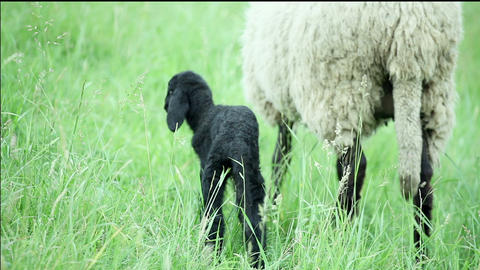 Black Lamb And Sheep Standing In The Field stock footage
