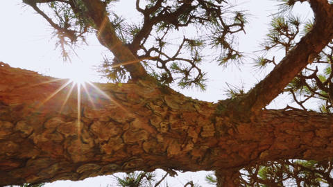 Japanese Pine Tree (matsu) Dolly Shot. Unique Pers stock footage