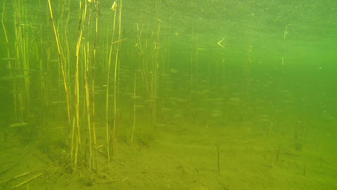 Large school of cyprinid fish in shallow water Footage