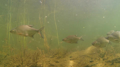 School of bream fish swimming by, two speeds Footage