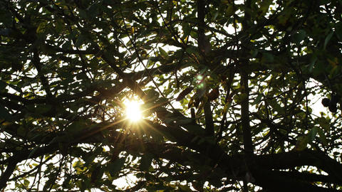 4K Sunrise Behind Autumn Walnut Tree Leaves 1 stock footage