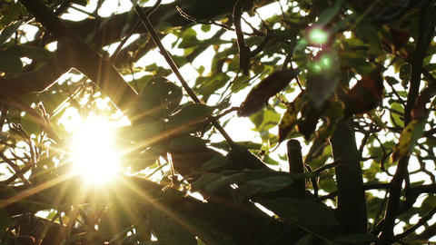 Sunrise through Walnut Tree Leaves Timelapse 3 Footage