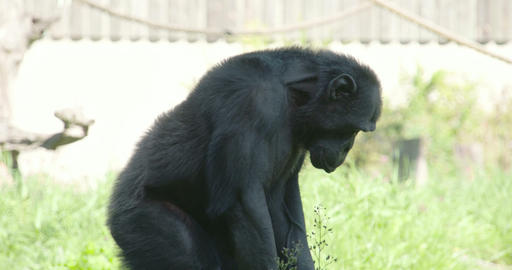 Black chimpanzee standing and sitting on the grass Footage