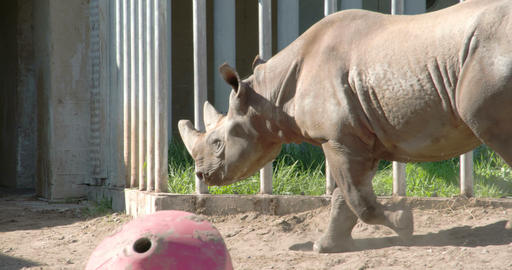 A big brown Rhinoceros walking on the yard FS700 4 Footage