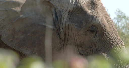 An African bush elephant close up view FS700 4K Footage