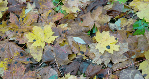 Scattered Maple Leaves On The Ground On Autumn FS7 stock footage