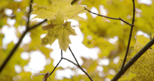 Golden view of the maple leaves on the maple tree  Footage
