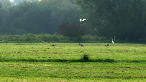 4kuhd Grey Herons And Greate Egrets In Marshland stock footage