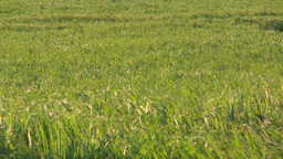 2011 Cane Grass stock footage