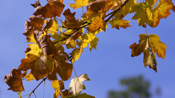 Yellow Oak Leaves On A Blue Sky Close Up - HD stock footage