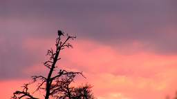 sunset crow 2 Stock Video Footage