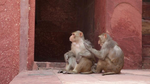 Rhesus Macaque monkeys grooming at Agra Fort Footage
