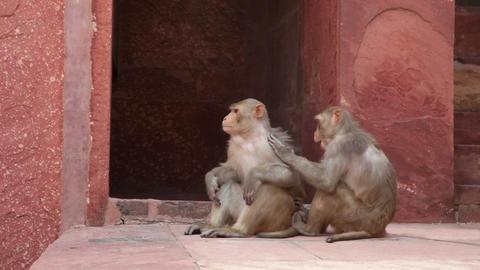 Rhesus Macaque monkeys grooming at Agra Fort Footage