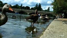 Ducks in Hyde Park London 01 Stock Video Footage
