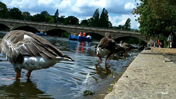 Ducks in Hyde Park London 01 Footage