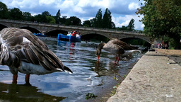 Ducks in Hyde Park London 01 Stock Video Footage