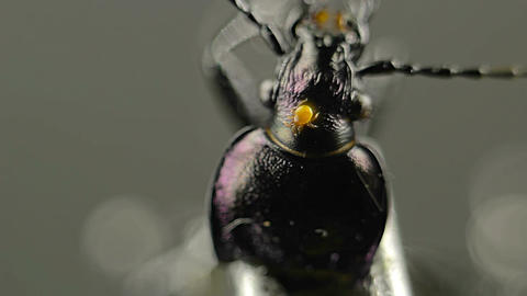 Orange mite on a beetle Footage