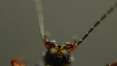 closeup of beetle mandibles and antennae Footage