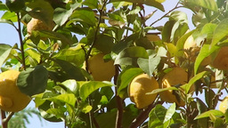 Lemon tree close up light leaks Footage