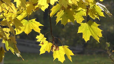 Maple Leaves Waving - HD stock footage