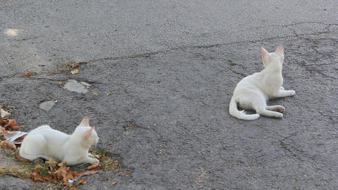 Two white kitten lying on the street 1373 Footage