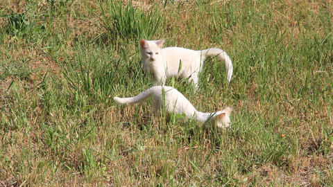 Two white cats (kittens) in grass 1382 Footage